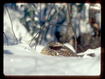 Ruffed Grouse Nestled in the Snow.