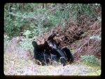 Female Black Bear cradles one of her Cubs.
