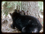 Black Bear Cubs Peek Over their mother to see what's going on.