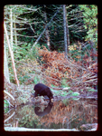 Black Bear Reflected on Water it is Drinking from.