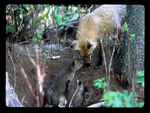 Female Red Fox greeted by Pups at Den Entrance.