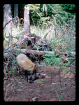 Female Red Fox Playing with Pup near Den.