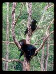 Black Bear Family Sleeping in a tree.