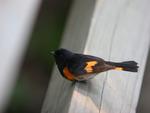 American Redstart on wooden railing.
