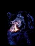 Black Bear in the Dark.