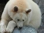 White Black Bear.