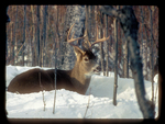 Whitetail Buck with 8-point Antlers Bedded in the Snow.