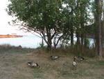 Canada Geese Eating Apples Fallen from Apple Tree.