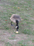 Canada Goose Eating an Apple that Fell from a Tree.