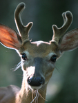 Whitetail Buck with Facial Hairs Highlighted.