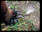 Grizzly Bear Foot with Long Claws.