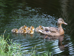 Hen Mallard leading brood of ducklings on the water.