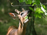 Whitetail Buck Eating Maples Leaves in Summer.
