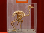 Wild Turkey Skeleton.