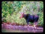 Velvet Antlered Bull Moose on the shore of Isle Royale National Park.