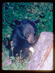 Black Bear Ripping a Stump apart to get at Insects.