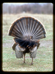 Rear View of a wild turkey with its Tail Fanned.
