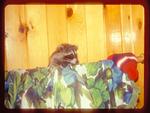 Raccoon in a House.