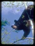 Black Bear in an Aspen Tree Breaking Limb to get emerging Aspen Leaves.
