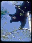Black Bear eating newly emerging aspen leaves.