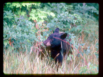 Black Bear Eating Blackberries.