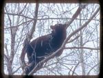 Black Bear Eating Aspen Catkins in the spring.