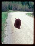 Black Bear Leaving Water Tracks as it walks along a gravel road.
