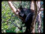 Black Bear Sleeping on Limbs in a Tree.