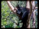 Black Bear Sleeping on Limbs in a Tree.