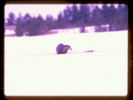 River Otter on the ice with a bluegill it just caught.
