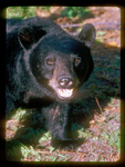 Black Bear with mouth open so lower canine teeth are visible.