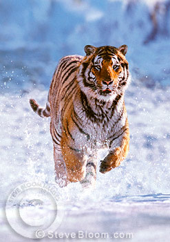 一些老虎奔跑的图片