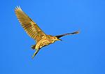 Black-crowned Night-Heron In Flight (immature)
