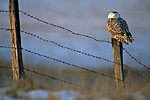 Snowy Owl on fencepost in late light