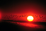 Black Skimmer Flight with Rising Sun