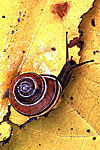 Land Snail on Cottonwood Leaves in Autumn 