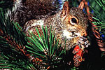 Eastern Gray Squirrel eating Pinecone