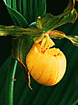 Larger Yellow Lady's Slipper Portrait