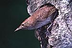 House Wren in Black Cherry Nest Hole
