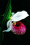 Showy Lady's Slipper Blossom