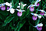Showy Lady's Slipper Group