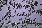Brant Geese Flight in Autumn