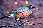 American Robin in Autumn with Berry