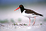 American Oystercatcher In Beach Habitat