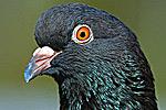 Rock Dove Portrait Close-up