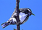 Black-and-White Warbler during Spring Migration