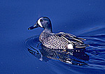 Blue-Winged Teal on Pond