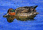 Green-Winged Teal Surface Feeding