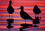 Yellowlegs in Afterglow