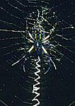 Argiope Spider and Web